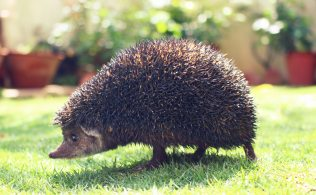 animal-garden-hedgehog-12526